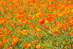 Orange Blume Kosmos Stockfoto