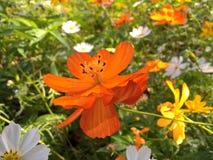 Orange Blume Kosmos sulphureus auf dem Gebiet Lizenzfreie Stockbilder