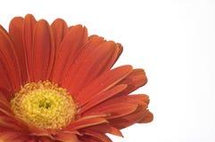 Orange Blume mit gelber Mitte Lizenzfreies Stockbild