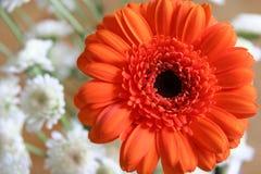 Orange Blume mit kleinen weißen Blüten Stockfotos