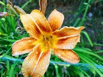 Orange Blume mit Regentropfen Stockfotografie