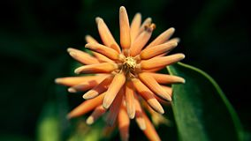 Orange Blume in voller Blüte im Winter Stockbild
