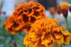 Orange Blumen Stockfotos