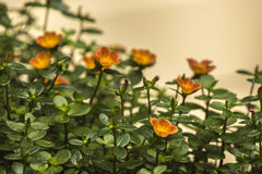 Orange Blumen Stockfotografie