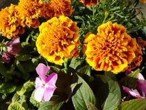 Orange Blumen Lizenzfreie Stockbilder