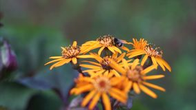 Orange Blumen stock video footage