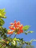 Orange Blumen auf dem Baum unter dem blauen Himmel Lizenzfreies Stockbild