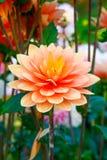 Orange Blumen der Dahlie im Punkt-Trotz parken in Tacoma Lizenzfreie Stockfotografie