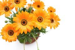 Orange Blumen des afrikanischen Gänseblümchens im Weiß Lizenzfreies Stockbild