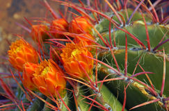 Orange Blumen des Rotes tined Fasskaktus Lizenzfreie Stockfotos