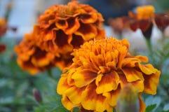 Orange Blumen im Garten Stockbild