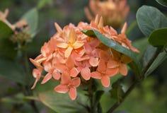 Orange Blumen im Garten Nahaufnahmefoto von blühendem orange Ixora stockbilder