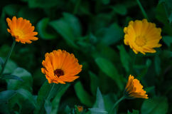 Orange Blumen im Gras Stockfoto