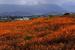 Orange Blumen, Karoo-Wüsten-nationaler botanischer Garten, Worcester, Südafrika stockbilder
