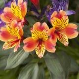 Orange Blumen mit den gelben Blumenblättern Lizenzfreie Stockfotos