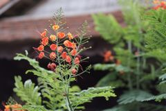Orange Blumen mit den langen Staubgefässen lizenzfreie stockfotografie