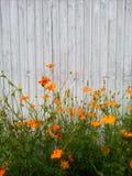 Orange Blumen und alter weißer Zinkhintergrund Mexikanisches Aster-Kosmos sulphureus Stockbild