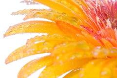 Orange Blumenabschluß oben Lizenzfreies Stockbild
