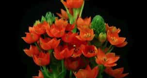 Orange Blumenblühen stock video