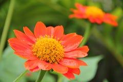 Orange Blumenblatt mit gelber Blütenstaubblume Lizenzfreie Stockfotos