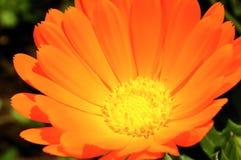 Orange Blumenblumenblätter Lizenzfreies Stockbild