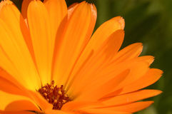 Orange Blumenblumenblätter Stockbild