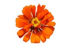 Orange Blumengelbblütenstaub auf weißem Hintergrund Lizenzfreies Stockfoto