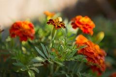 Orange Blumenhintergrund von Ringelblumen Stockfotos