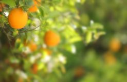 An orange with a blurred background. An orange growing in an orchard on the left in a horizontal presentation and a blurred background on the right for a text Royalty Free Stock Photo