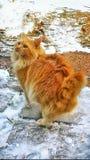 Orange bobtail cat. Standing snow winter fluffy pet animal manix Stock Photography