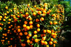 Orange bonsai Stock Image