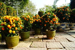 Orange bonsai Stock Images