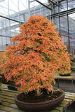 Orange Bonsai Royalty Free Stock Photo