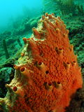 Orange Boring Sponge royalty free stock images