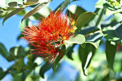 Orange bottle brush tree - Callistemon citrinus Royalty Free Stock Images