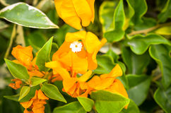 Orange bougainville flower detailed macroshot Royalty Free Stock Photo