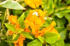 Orange bougainville flower detailed macroshot Stock Photo