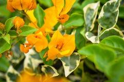 Orange bougainville flower detailed macroshot Stock Image
