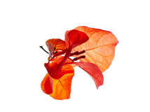 Orange Bougainvillea Royalty Free Stock Photos