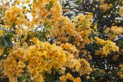 Orange bougainvillea Fotografering för Bildbyråer