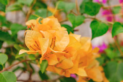 Orange Bougainvillea in evening Stock Photography