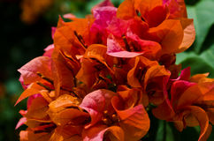 Orange Bougainvillea flower Royalty Free Stock Photography