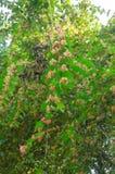 Orange bougainvillea Royalty Free Stock Image