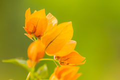 Orange bougainvillea flowers. Stock Photography