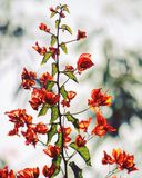 Orange Bougainvillea Flowers in Selective Focus Photography Royalty Free Stock Images
