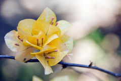 Orange bougainvillea flowers. Orange bougainvillea flowers in thailand Royalty Free Stock Images