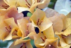 Orange bougainvillea flowers. Orange bougainvillea flowers in Thailand Stock Photo