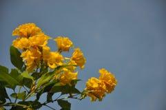 Orange Bougainvillea stock image