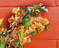 Orange Bougainvillea Wall Mexico City Mexico Royalty Free Stock Photography