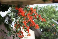 Orange bougainvilleablommor, Ecuador royaltyfria bilder